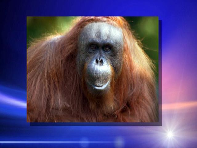 Orangutan 50th Birthday Orangutan Celebrates 50th
