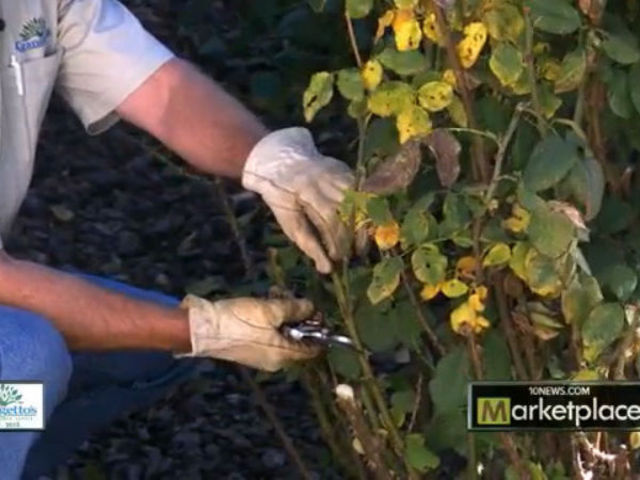 Rosebush pruning tips from Grangetto's
