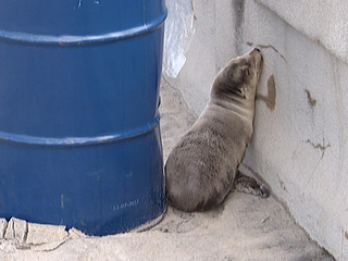 Rescued sea lion pup, Pacific Beach