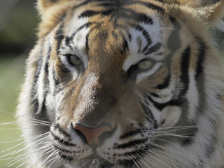 'Operation Jungle Book' nets tiger, wildlife