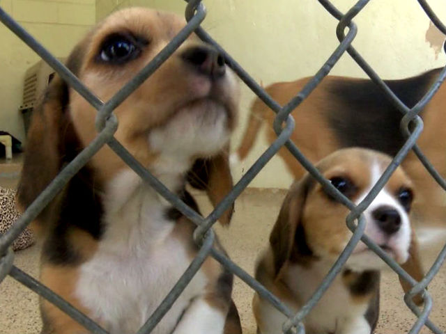 42 Rescued Beagles Are Looking For Homes In San Diego