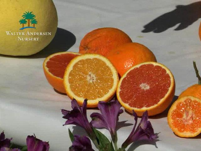 Garden Talk: Talking citrus