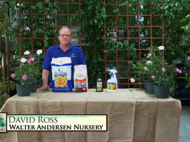 Garden Talk: Rose care