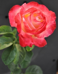 A carefree rose garden