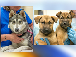 Abused husky, her puppies put up for adoption