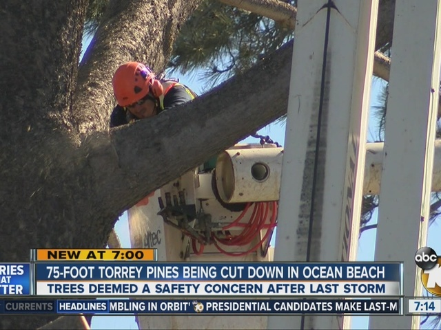 75-foot Torrey Pines being cut down in Ocean Beach