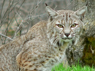 A bobcat in Normal Heights? Sighting reported