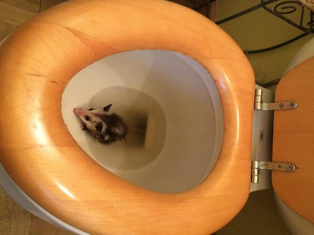 Opossum pokes its head out of woman 39 s toilet in pacific beach kgtv tv san diego - Foto toilet ...