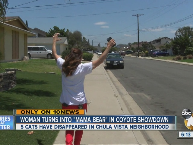 Resident channels bear to chase after coyote