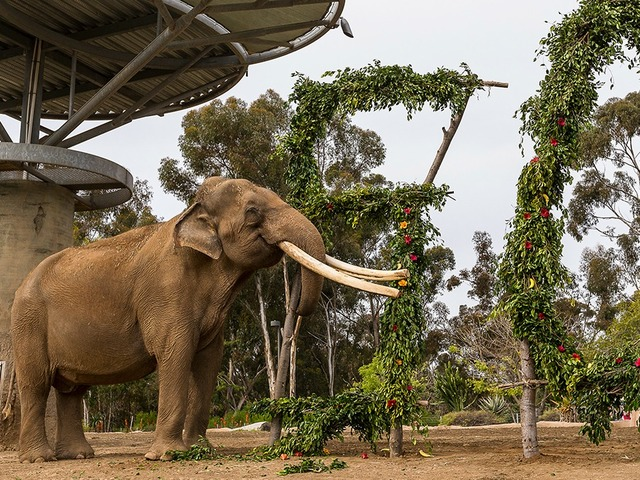 50 Year Old Asian Elephant Dies At San Diego Zoo 10news