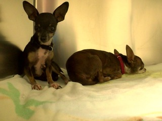 Officer smashes car window to save 2 Chihuahuas
