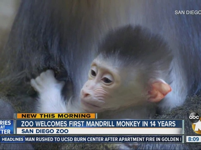 Zoo welcomes first Mandrill monkey in 14 years