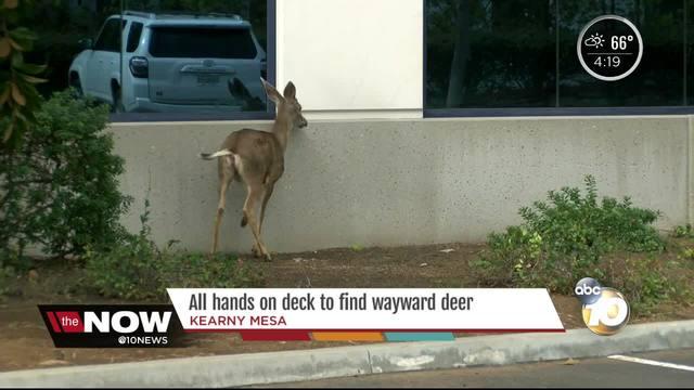 Oh deer- All hands on deck to wrangle wayward deer