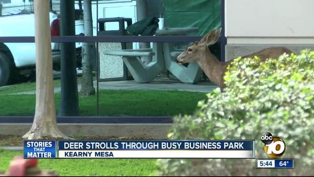 Deer strolls through busy business park