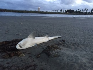 Sharks wash ashore at Dog Beach in Ocean Beach