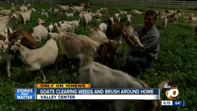 Goats Clearing Weeds and Brush