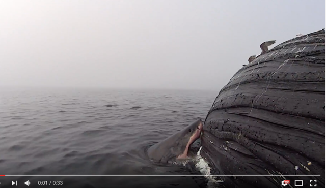 Incredible video shows great white shark feasting on humpback whale