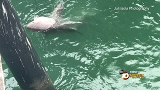 Great White shark hooked on San Clemente Pier