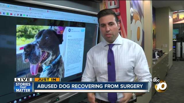 Abused dog recovering from surgery
