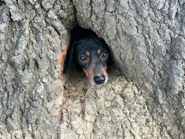 Clumsy dachshund rescued from inside Kentucky tree