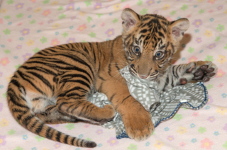Safari Park's tiger cub friends now on display