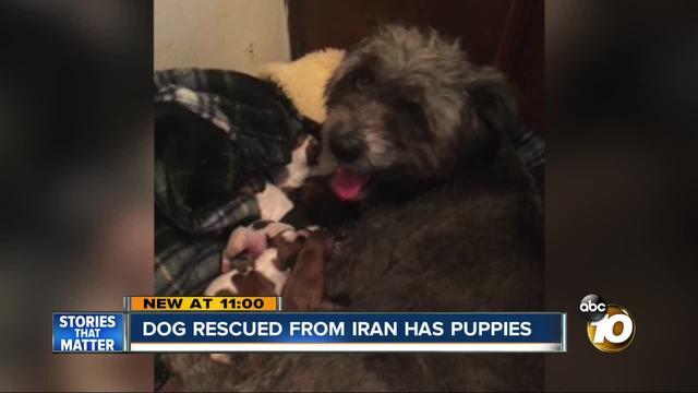Dog rescued from Iran has litter of puppies