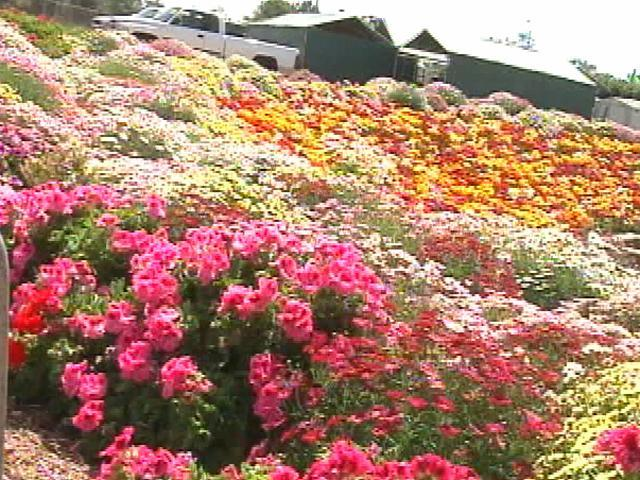 Carlsbad Flower Fields Open For Visitors