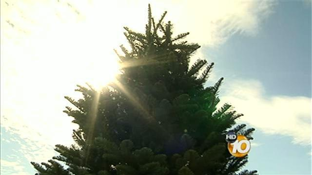 increased prices on local christmas trees unlikely 10newscom kgtv tv san diego - Pinery Christmas Trees