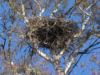 Bald eagle nest in Ramona-10933