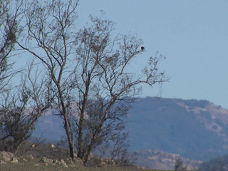 Bald eagle in Ramona-10933