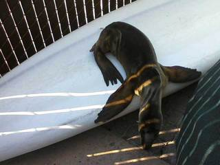 Sick sea lion pup under trailer-10933