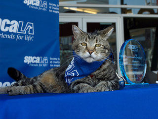 Tara HeroCat receives spcaLA 'Hero Dog' award