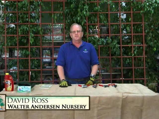 Garden Talk: Rose Trimming