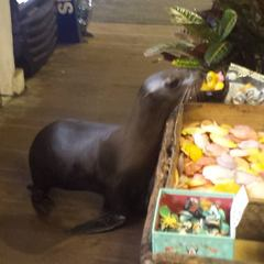 Sea lion goes on shopping trip in San Diego