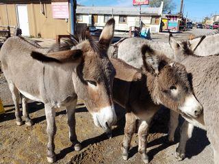 Travel spotlight: Meet the wild burros of Oatman