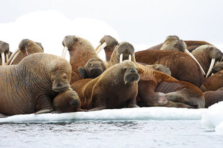How do you like walrus? Well done is best