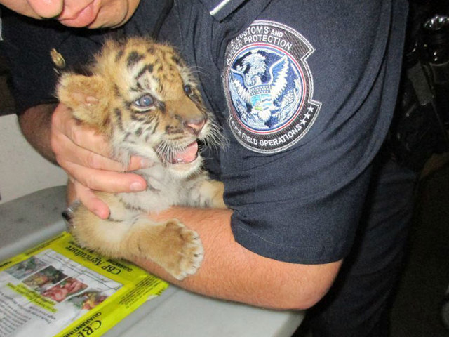 Illegally-trafficked tiger cub rescued at the border