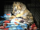 Man pleads guilty to smuggling tiger cub into US