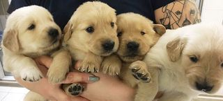 Puppy raisers wanted by Guide Dogs of America