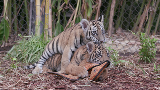 Rescued tiger cub finds a forever home in Alpine