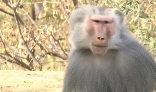 New baboon exhibit opens at San Diego Zoo