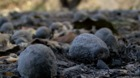 Avocado orchards destroyed by Lilac Fire