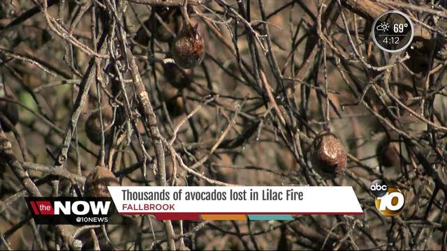At least 4 avocado orchards destroyed by Lilac Fire