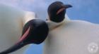 Curious Emperor penguins take Antarctic selfie