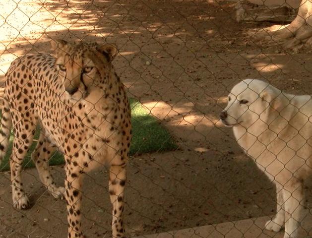 cheetah cubs train with dogs at san diego zoo 10news com kgtv tv
