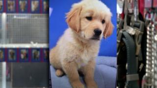 Golden retriever puppy stolen from pet shop