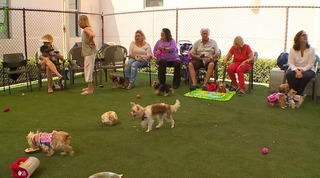 Yorkies recovering after rescue from hoarders