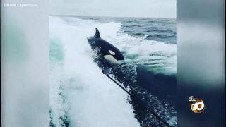 Orcas swim with boat off San Diego coast