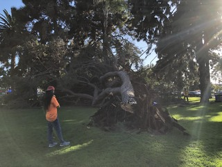 Massive tree topples in busy family park