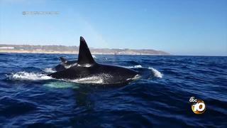 VIDEO: Orcas spotted off the coast of La Jolla